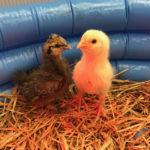 STEM-programs-chickens-3